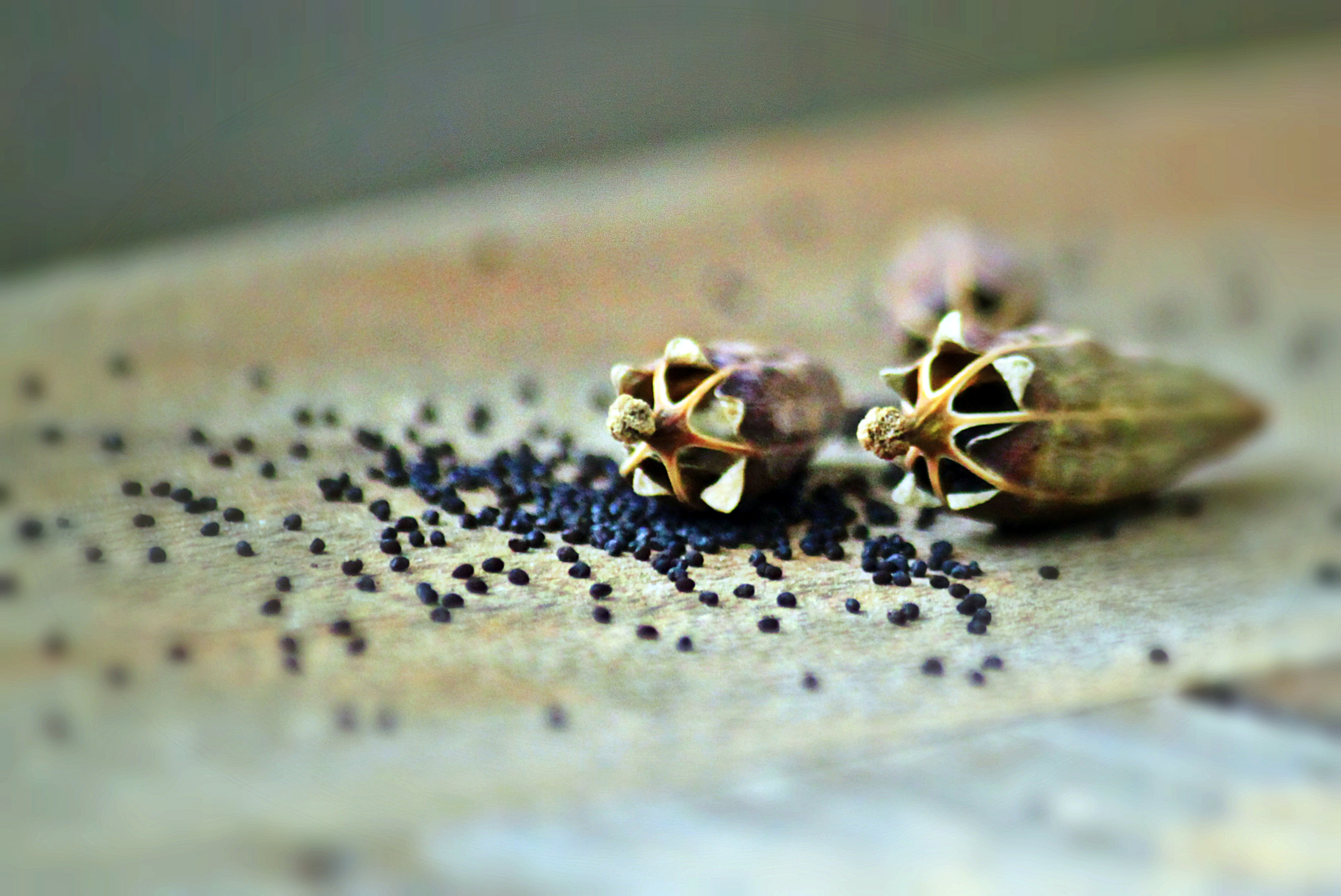 poppy-capsules-832776